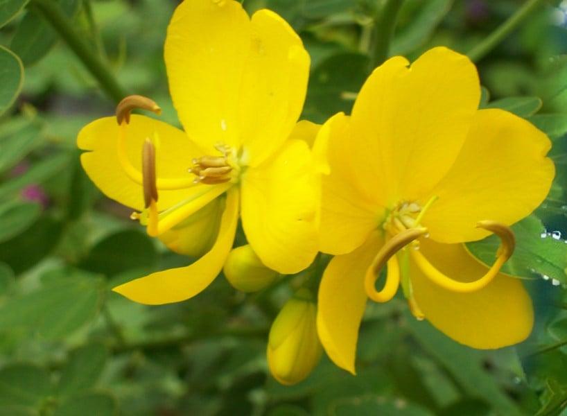 Alexandrian Senna (Cassia acutifolia)