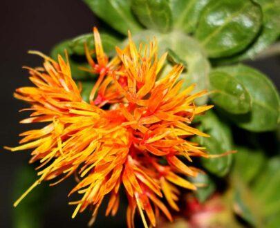 Safflower (Carthamus tinctorius)