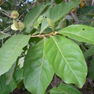 Sakae Naa (Combretum quadrangulare)