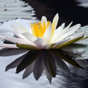 White Lotus (Nelumbo nucifera)