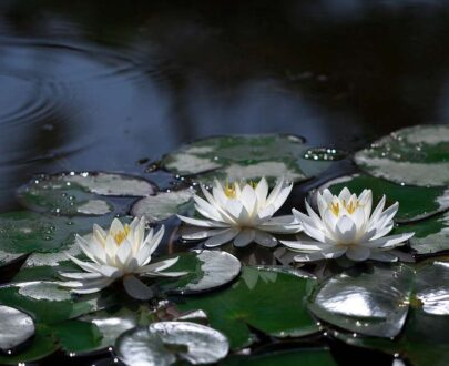 White Waterlily (Nymphaea ampla)