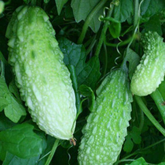 Bitter Melon (Momordica charantia)