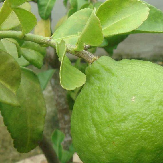 Kaffir Lime (Citrus hystrix)